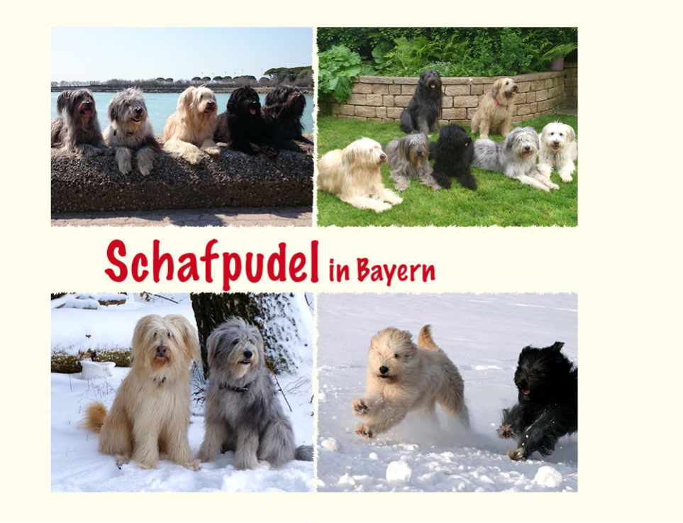 Schafpudel in Bayern
